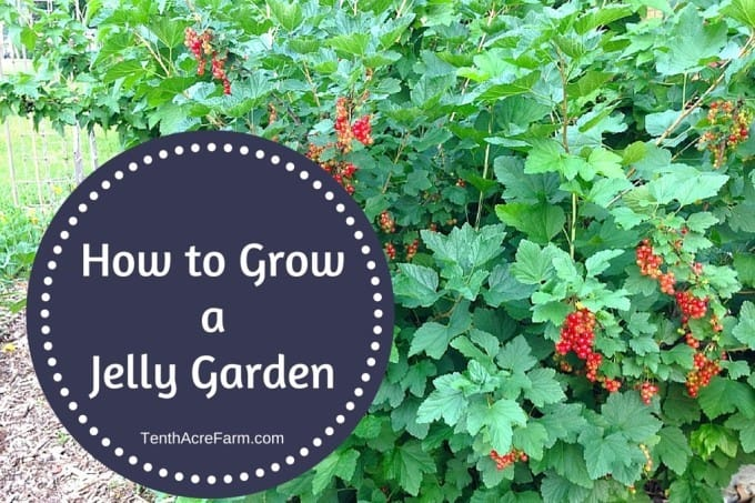 Many ornamental and wild fruits are overly tart and seedy when eaten fresh, but become sweet and mellow when made into jelly. Here are five berry-producing plants that are easy to grow and a few ideas for making and using a mixed berry jelly.
