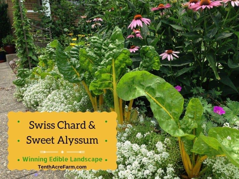 Swiss Chard Vegetable Swiss Chard And Sweet Alyssum